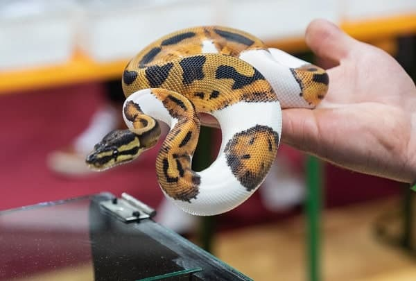 Owner Holding Orange Ghost Pied Ball Python