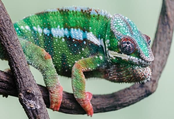 Panther Chameleon Climbing On Branch