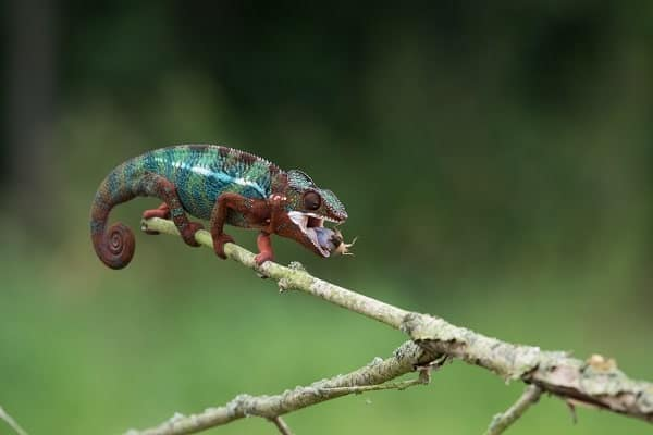 Panther Chameleon Eating Cricket