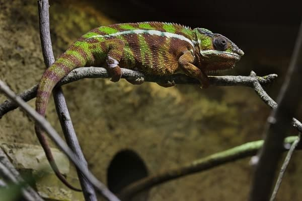 Panther Chameleon Hanging From Branch