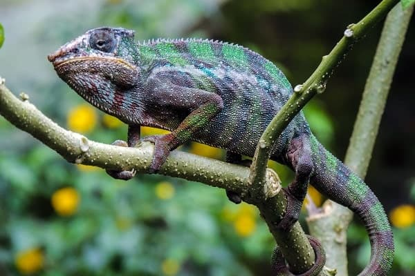 Panther Chameleon In Tree