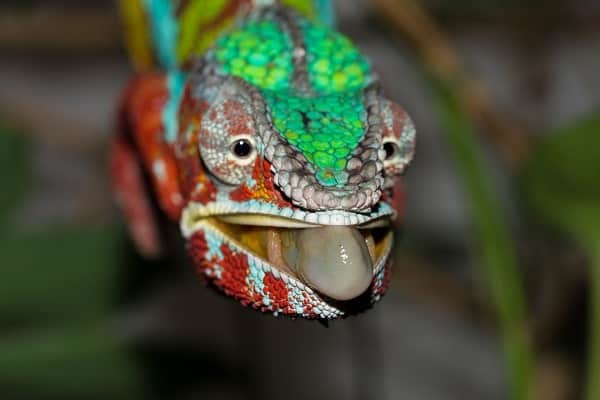 Panther Chameleon Tongue Out