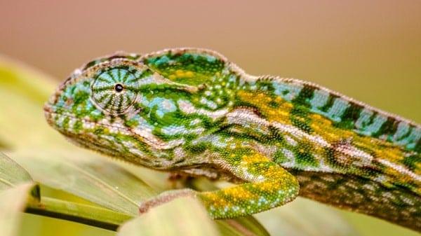 Pet Panther Chameleon Closeup