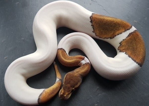 Pied Ball Python On Display
