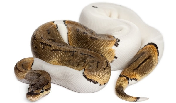 Pied Ball Python White Background
