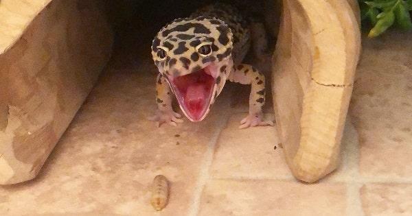 Stressed Leopard Gecko