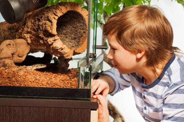 Young boy observing ball python in enclosure