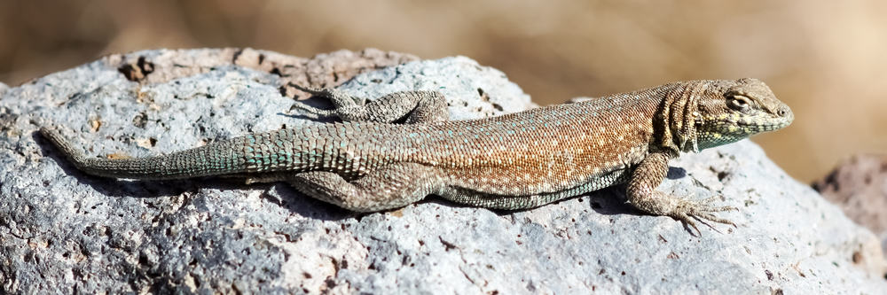 Common-side-blothed-lizards-Uta-stansburiana