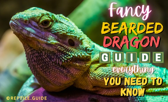 Fancy bearded dragon featured image