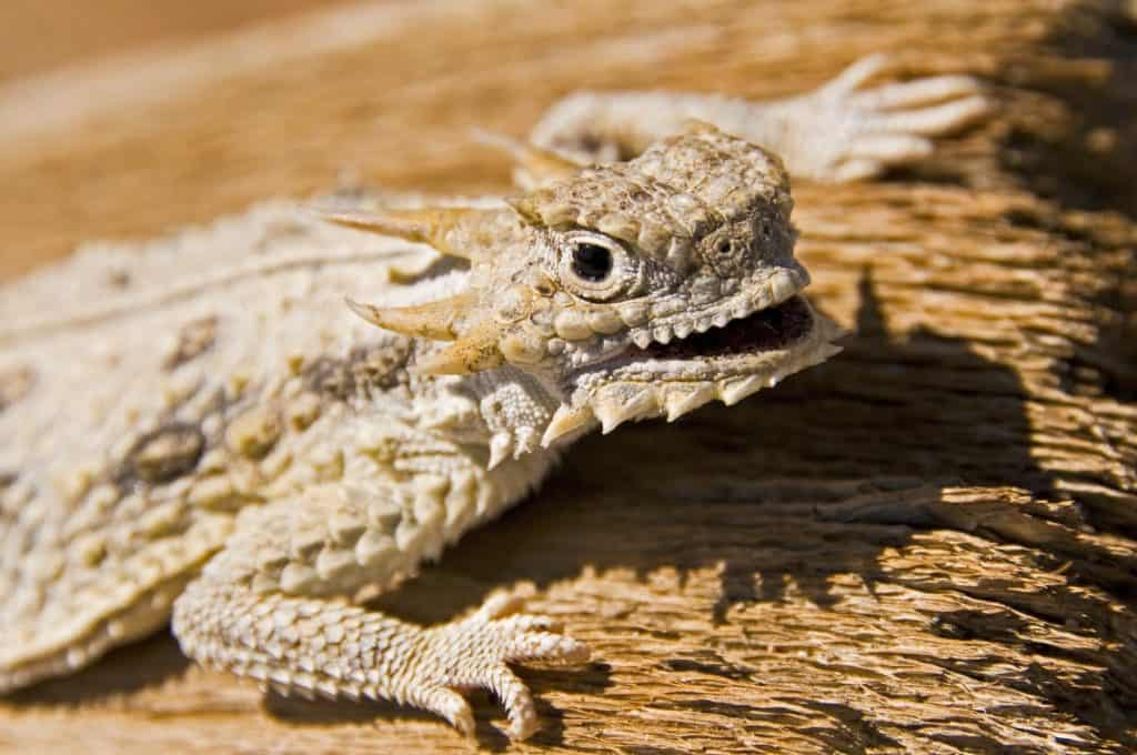 Flat tailed horned lizard