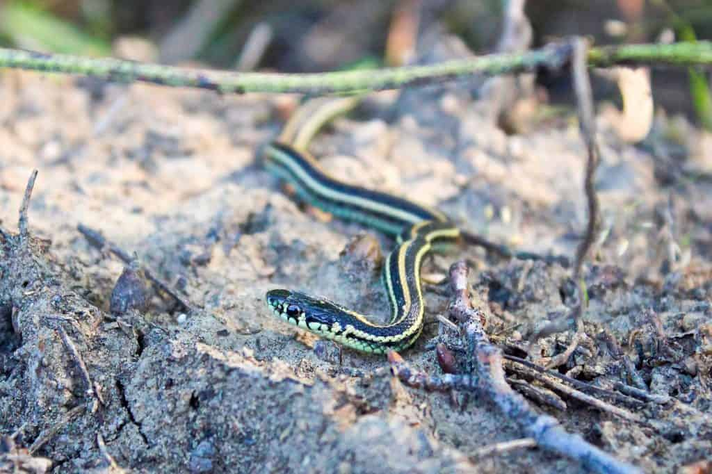 A baby garter snake crawls on sandy ground