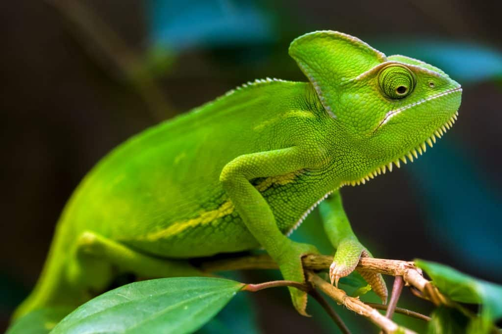 Green chameleon on a tree.