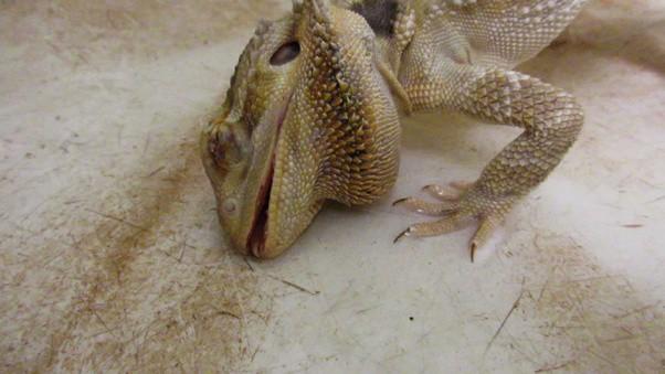 Neglected Bearded Dragon PETA