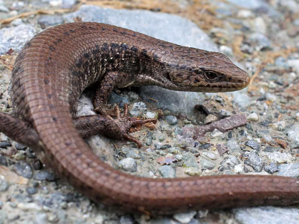 Wild Northern Alligator Lizard