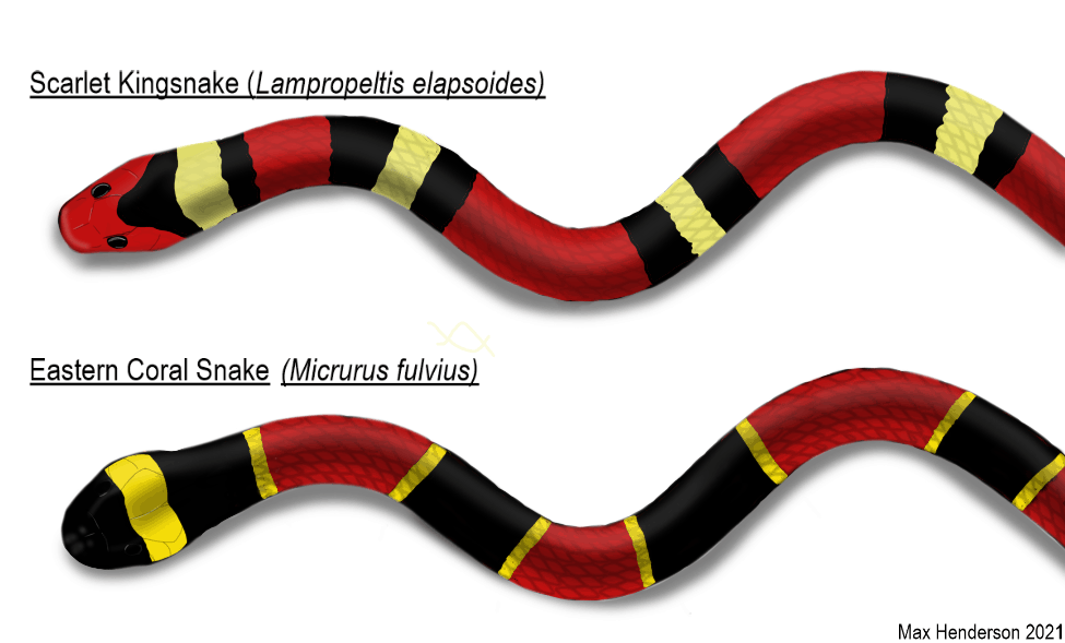 A drawn comparison between the Scarlet Kingsnake and Coral Eastern Snake