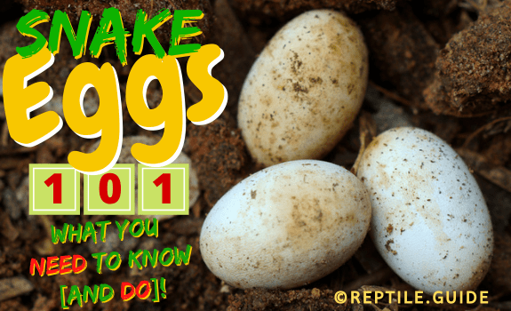 snake eggs featured image