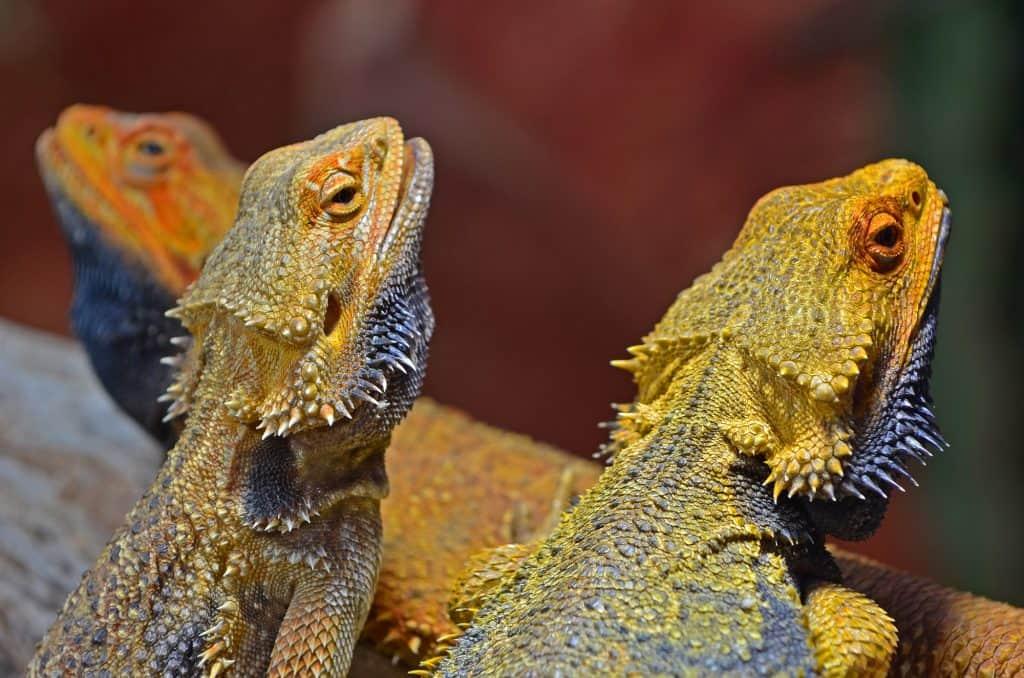 Bearded Dragons from Australia, also known as Pogona, sunbathing.