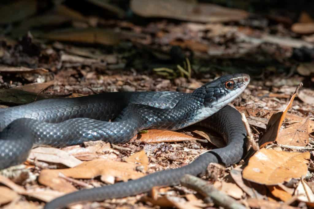 Southern black racer snake sunning in a forest.