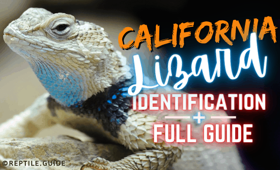 california lizards featured image