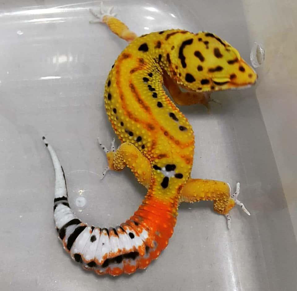 carrot tailed leopard gecko morph