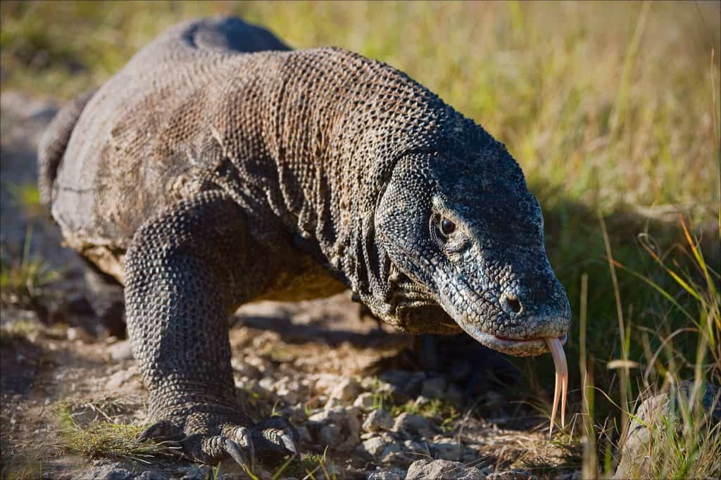 monitor lizard or komodo dragon-min