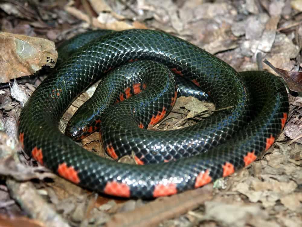 Mud Snake (farancia abacura) Illinois