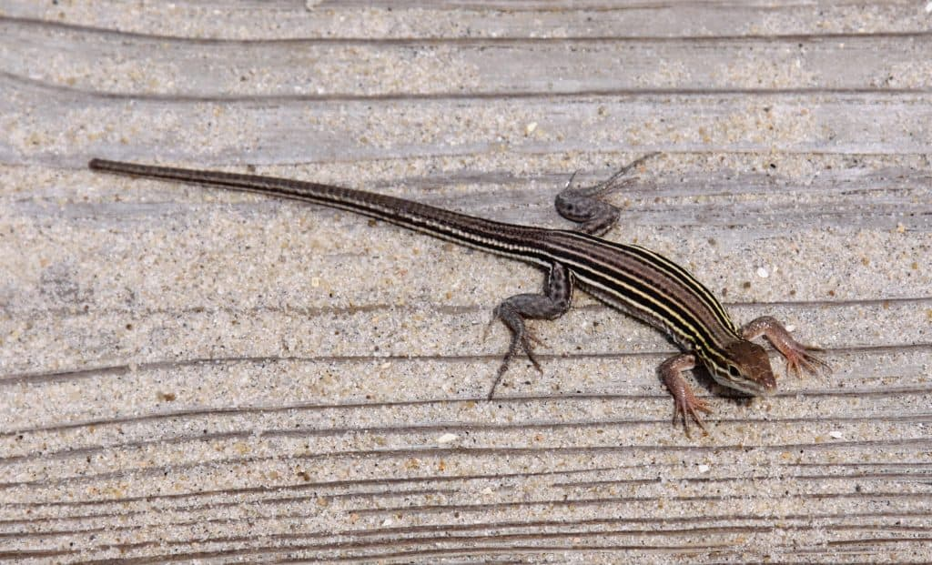 race runner or whiptail lizard