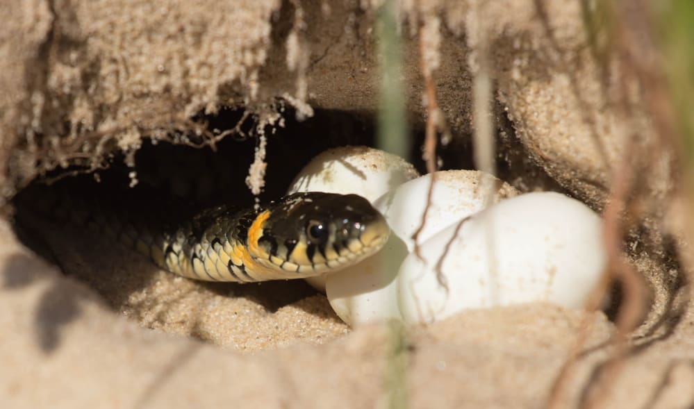 snake eggs in a hole