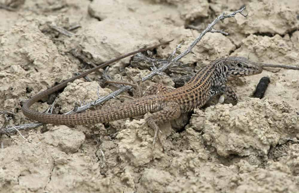 Western Whiptail Look