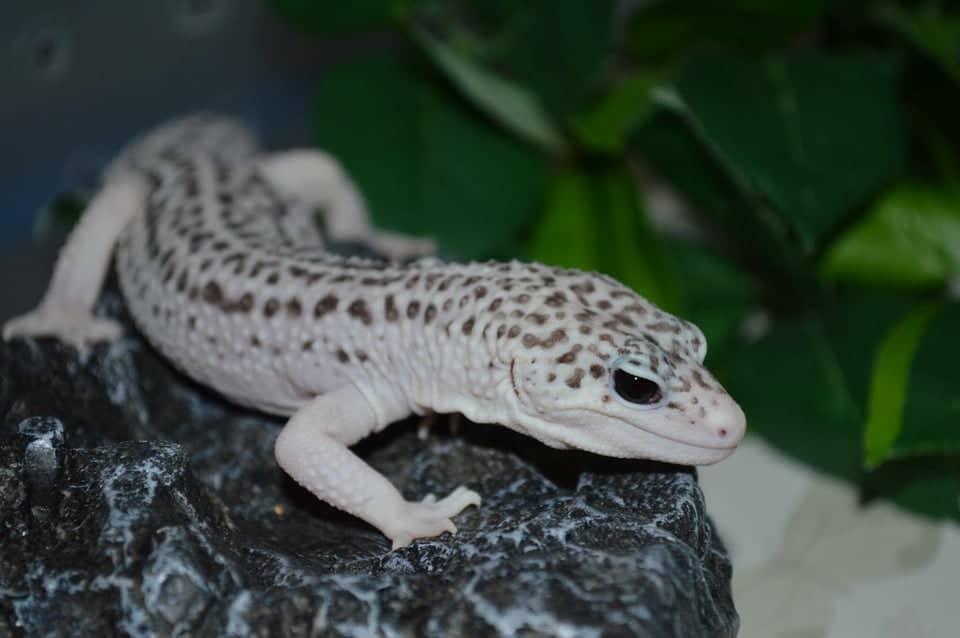 total eclipse leopard gecko