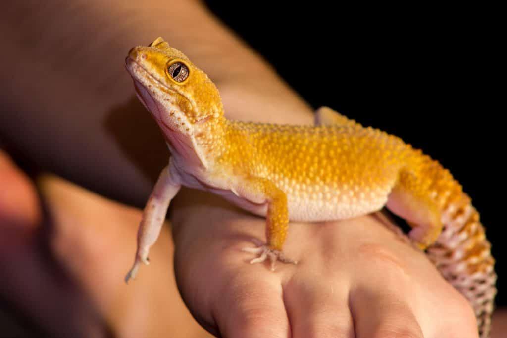 yellow-leopard-gecko-on-hand