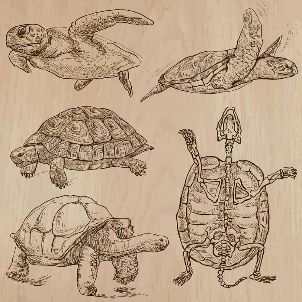 Drawn turtle from all sides