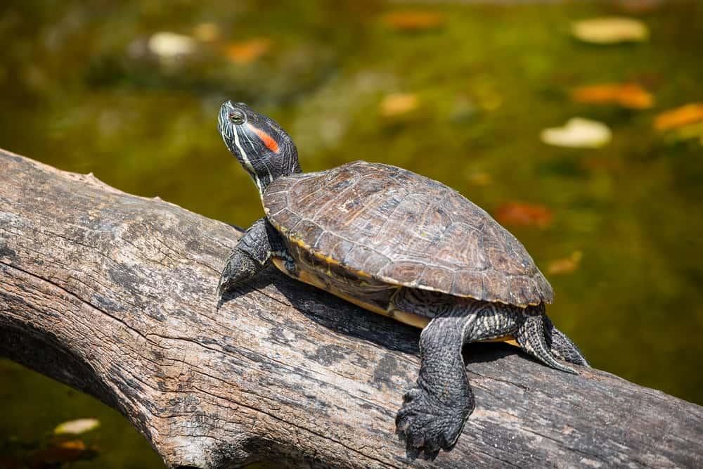 Freshwater aquatic turtles