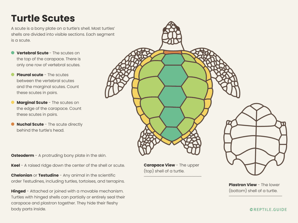 Illustration of turtle scutes
