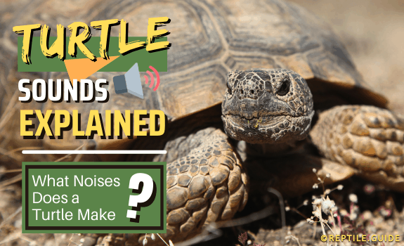 Turtle Sounds Explained What Noises Does a Turtle Make