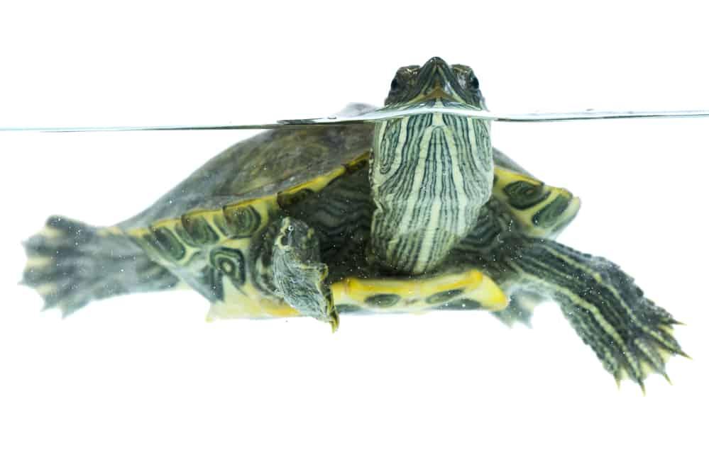 Swimming turtle's webbed feet