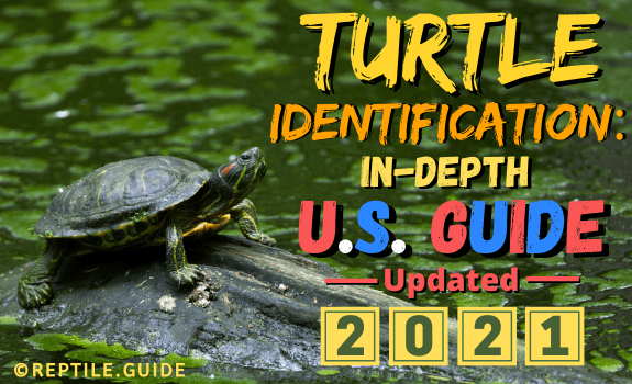 featured image for the article on U.S. turtle identification