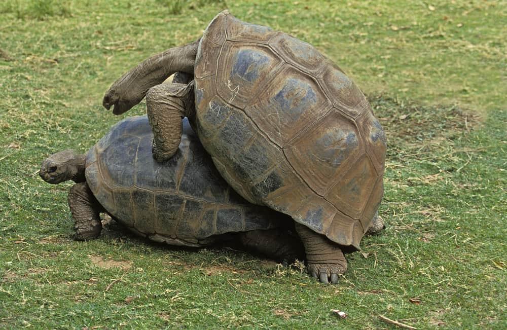 mating turtles in madagaskar