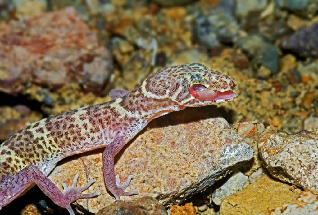 A Texas Banded Gecko - Coleonyx Brevis