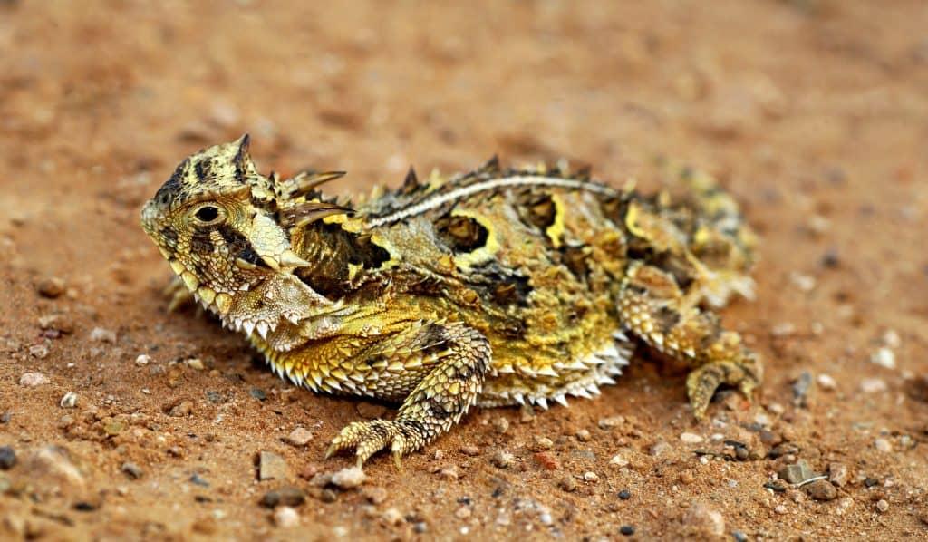 A Horned Texas Lizard - Phrynosoma Cornutum