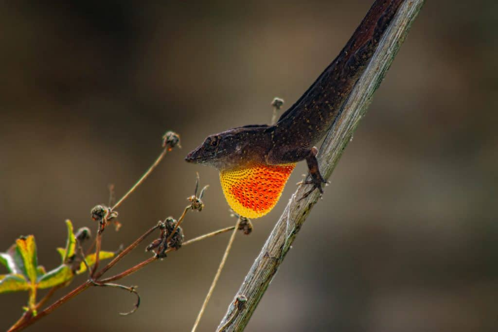 Macro closeup shot of a brown anole lizard perched on a slim branch during day time