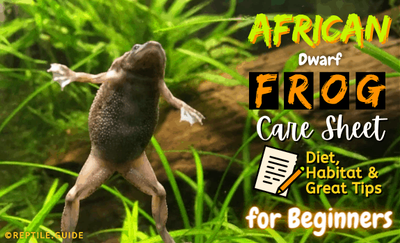 African Dwarf Frog Care Sheet Diet, Habitat, & More Great Tips for Beginners featured image