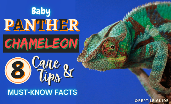 Baby Panther Chameleon 8 Care Tips and Must-Know Facts