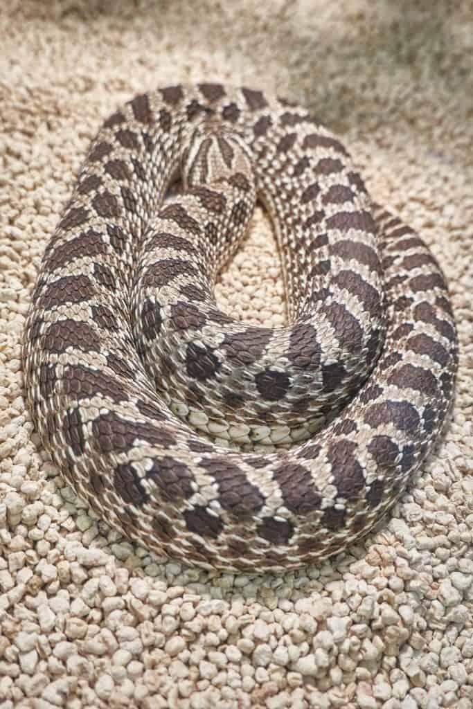 big heterodon nasicus snake