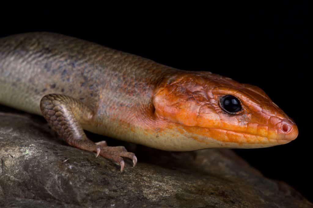 Broadhead skink (Plestiodon laticeps)