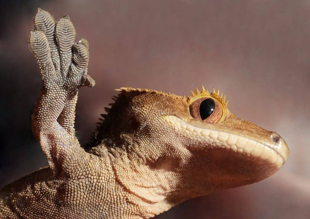Caledonian crested gecko on a glass
