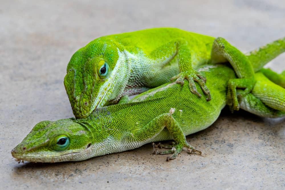 Carolina Anole, or green lizards, mating