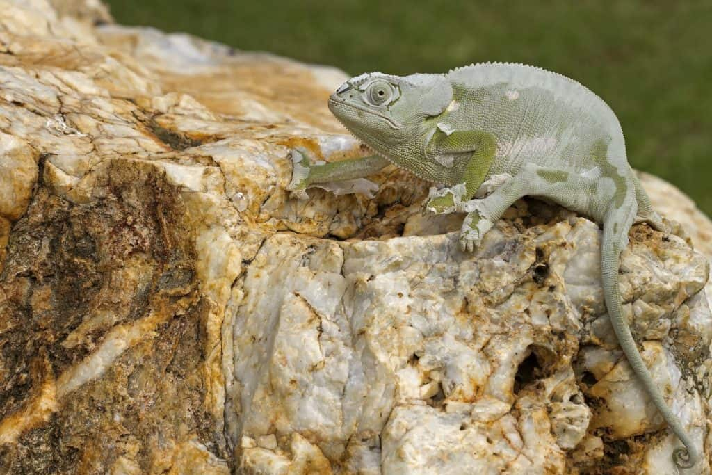 Cameleon sitting on big rock busy casting its skin