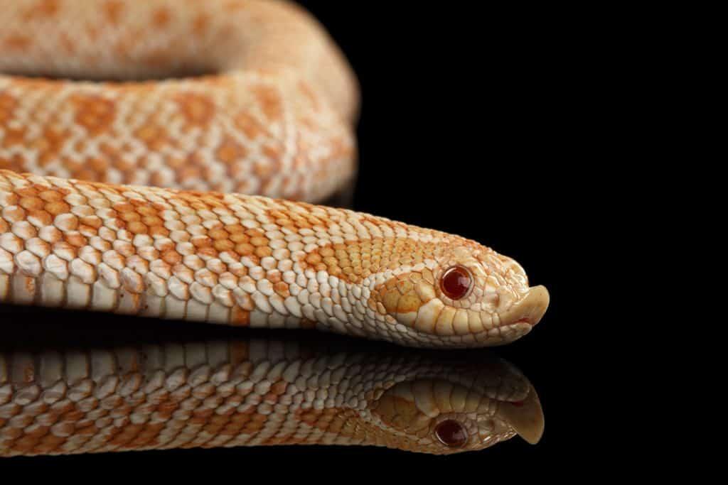 Closeup Pink Albino Western Hognose Snake
