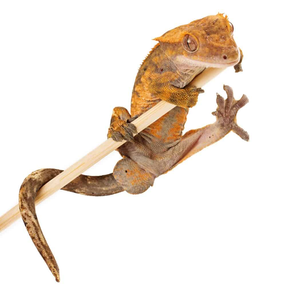 Crested Gecko On A Stick